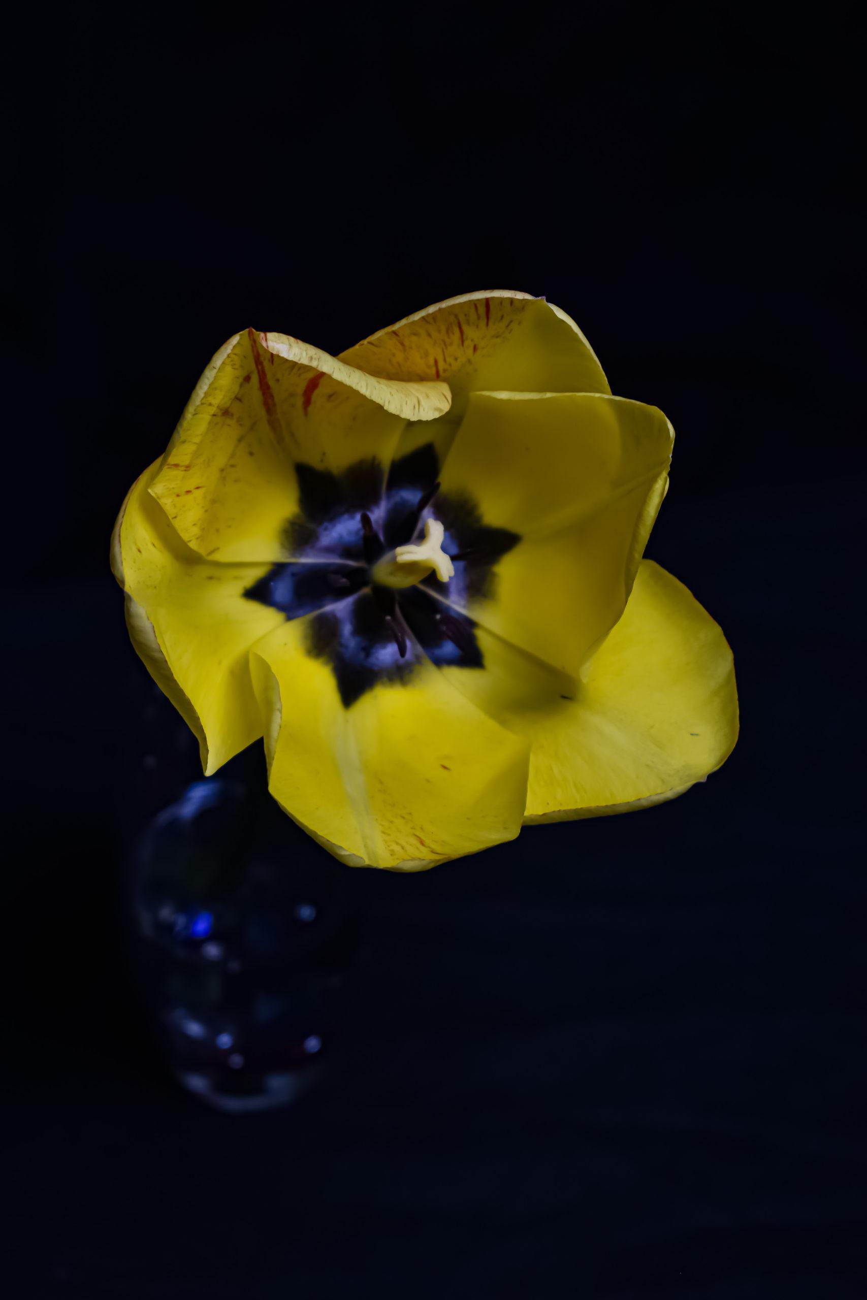 yellow tulip.1